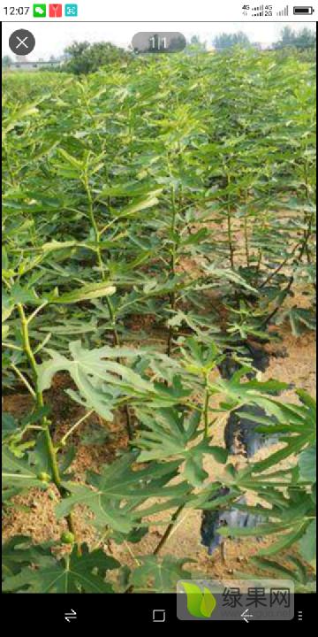 基地大量供无花果树苗,品种多,