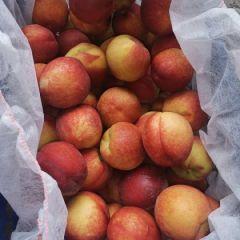 砀山油桃大量供应