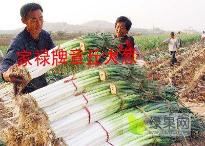 山东大葱种子育种家自己品牌 家禄牌 章丘大葱种子