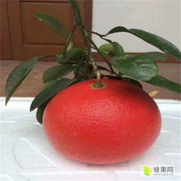 南瓜红柚苗多少钱一棵