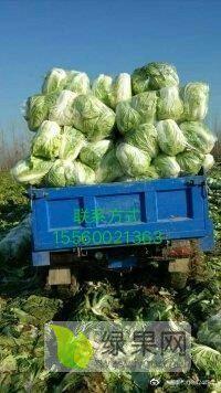 河南大白菜商丘夏邑种植白菜最大基地供应