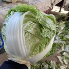 河南开封白菜上市时间/市场批发基地在哪儿产地代办