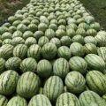 优质新疆西瓜,个大品相佳,味美口感好