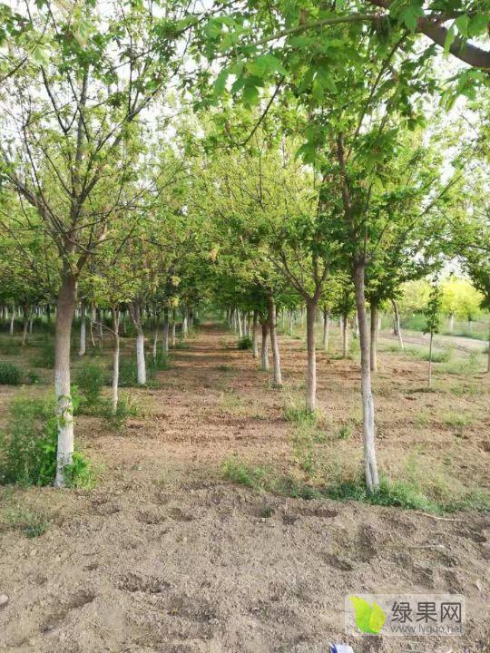 复叶槭 1米到1.5米
