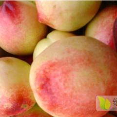 大荔油桃,毛桃,价格便宜1357 1345153