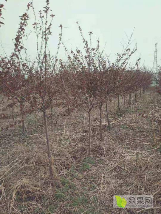 青州市大量出售海棠花树