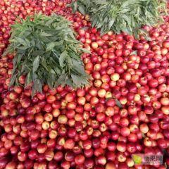 山东油桃大量上市