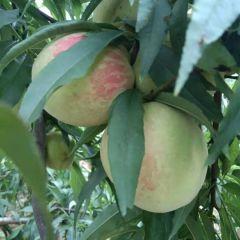 瑶族人的黄桃油桃马上上市,需要的批发商欢迎来选购