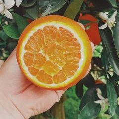 伦晚脐橙 秭归伦晚 产地直销 果园直发 物美价廉 实惠便宜