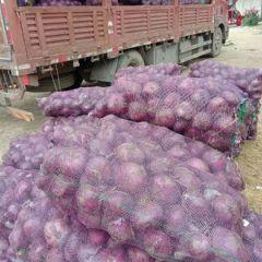 紫皮洋葱大量上市【产地直销】