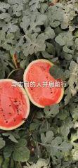甜王精品瓜红瓤黑籽薄皮商品质量糖度13