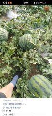 辽宁省鞍山市台安县20亩优质甜王瓜即将上市