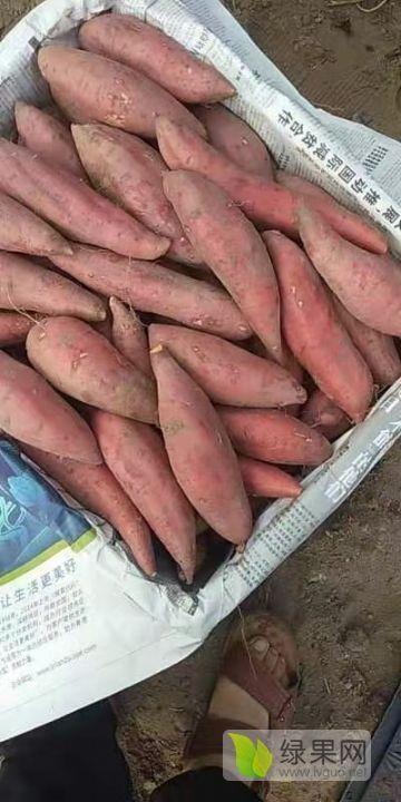豫薯13红薯价格