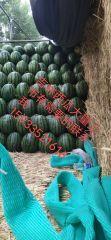 涨潮瓜果蔬菜购销现在在吉林有需要吉林西瓜的联系我