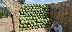 卾尔多斯卾托克前旗沙漠西瓜已大量上市,诚信代办,发往全国