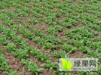 丰台北京早大白土豆种子马铃薯种薯