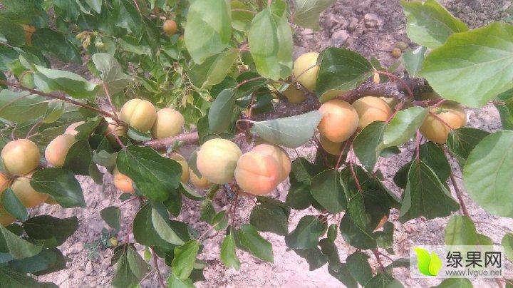一年一季度的丰源红杏亚博 金太阳杏子又到了收成季
