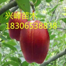 早酥红梨是早酥梨芽变品种