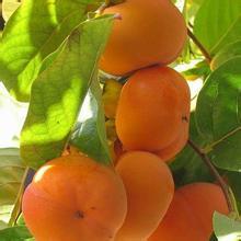 临沂柿子苗基地、甜柿子苗、磨盘柿子苗、照天