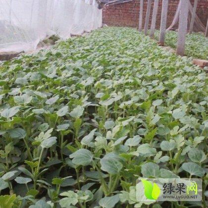 禹城专业的西瓜育苗基地和种子销售