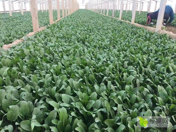 ❤【刘金宝】❤【沙土地产区】❤柳叶菠菜15-20公分中国小叶菠菜之乡