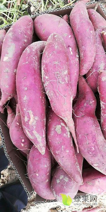 广东惠来红薯