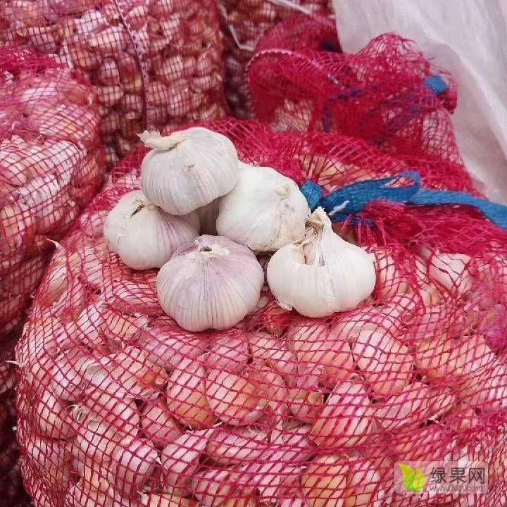 售蒜黄种子、独头蒜种子30吨 现有蒜黄专用蒜,保证蒜头出芽率