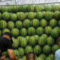 吉林省洮南市黑水镇西瓜现货供应 口感甜 个头均匀 瓜型正 保质