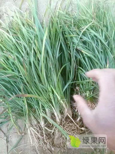 20公分麦冬草产地直销包上车
