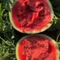 白城西瓜现货供应价格大幅度下滑 鲜把鲜叶 好货多